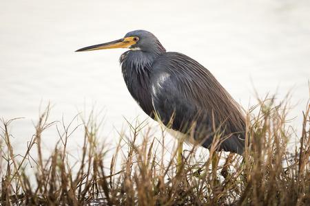 습지 - 메리 트 섬, 플로리다의 가장자리에서 삼색 헤론 Egretta 삼색