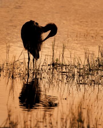 붉은 해오라기의 실루엣 Egretta rufescens 습지 at-Merritt Island, Florida에 깃털을 Preening 스톡 콘텐츠