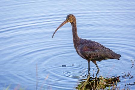 얕은 연못에서 마시는 광택이 비스 Plegadis falcinellus - Merritt 섬, 플로리다