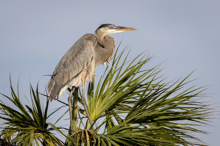 Great Blue Heron Ardea herodias Nesting on a Palm Tree - Viera Wetlands, Florida