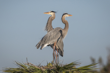 herons: Pair of Great Blue Herons Ardea herodias perched on their nest at the top of a palm tree - Melbourne, Florida
