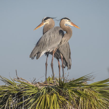 animal  bird: Pair of Great Blue Herons Ardea herodias perched on their nest at the top of a palm tree - Melbourne, Florida