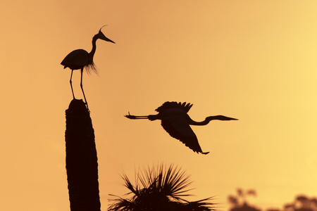 herodias: Silhouette of a Great Blue Heron Ardea herodias in flight as its mate looks on - Melbourne, Florida Stock Photo