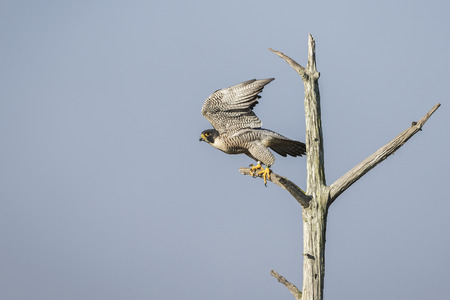 An endangered Peregrine Falcon Falco peregrinus takes flight from its perch in a dead tree - Melbourne,  Florida Reklamní fotografie