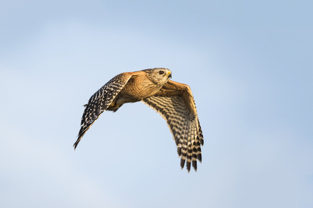 shouldered: Red-shouldered Hawk Buteo lineatus in Flight - Florida Stock Photo