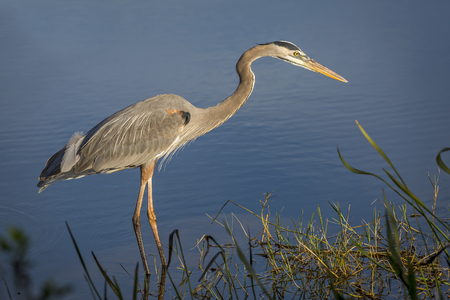Great Blue Heron Ardea herodias at the edge of a pond - Melbourne, Florida
