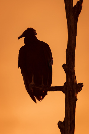 roosting: Black Vulture Coragyps atratus roosting in a tree at sunset - Melbourne, Florida