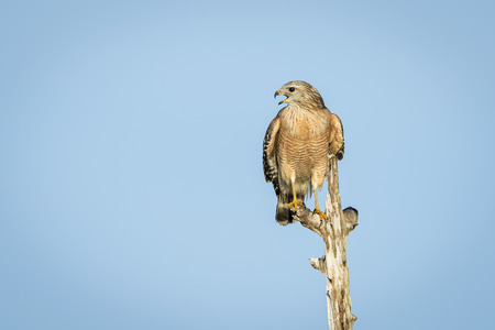 shouldered: Red-shouldered Hawk Buteo lineatus perched on a dead tree - Florida Stock Photo