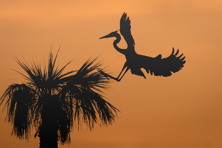 Great Blue Heron Ardea herodias landing at its nest in a palm tree at sunrise - Melbourne, Florida