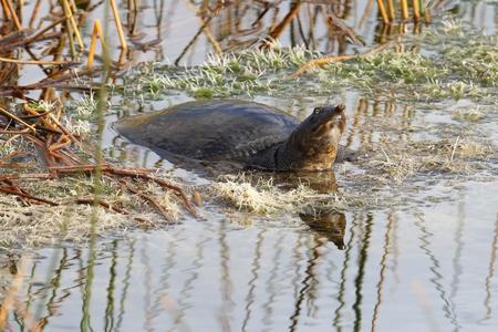 schildkr�te: Viera Sumpfgebiete, Florida - Florida-Weichschildkr�te Apalone ferox in einem Sumpf aalen