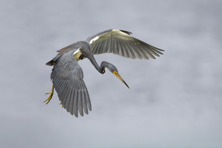 plunge: A tricolored heron Egretta tricolor in flight as it prepares to plunge for a fish - Florida Stock Photo
