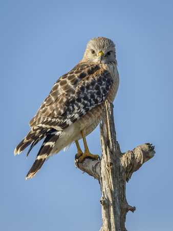 shouldered: A Red-shouldered Hawk Buteo lineatus Perched in a Dead Tree - Melbourne, Florida