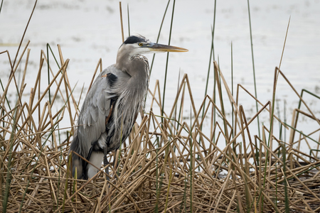 Great Blue Heron Ardea herodias standing at the edge of a cattail marsh - Florida