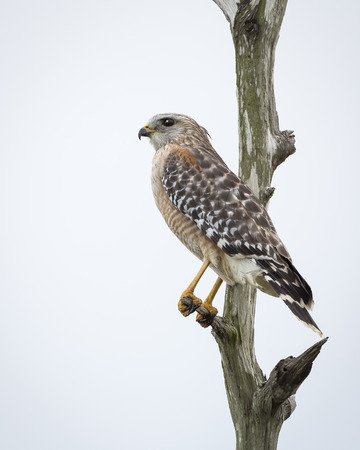 wetland: Red-shouldered Hawk Buteo lineatus Perched in a Dead Tree - Melbourne, Florida Stock Photo
