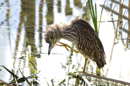 juveniles: Juvenile Black-crowned Night Heron Scratching its Head - Florida