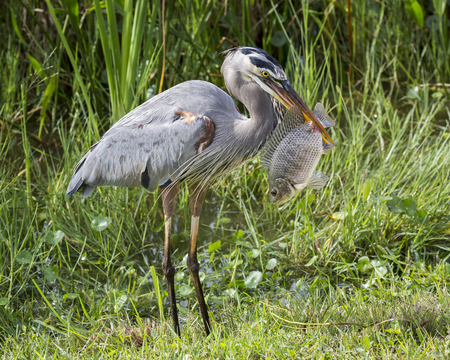 Great Blue Heron Ardea herodias Eating a Tilapia - Florida