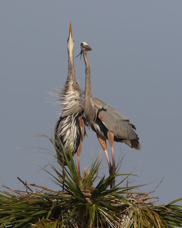 courtship: Pair of Great Blue Herons Ardea herodias Engaged in Courtship Behaviour - Melbourne, Florida Stock Photo