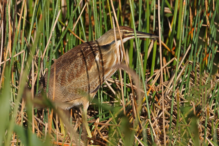 bittern: American Bittern Botaurus lentiginosus Stalking its Prey in a Florida Marsh