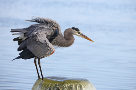 outflow: Great Blue Heron Ardea herodias Perched on a Water Outflow Pipe - Melbourne, Florida