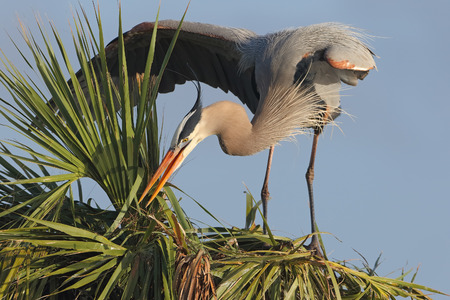 Great Blue Heron Ardea herodias Building a Nest in a Palm Tree