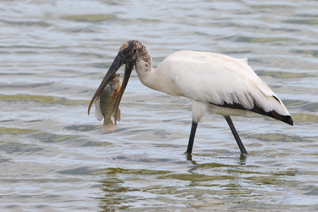 americana: Wood Stork Mycteria americana Eating a Tilapia - Florida