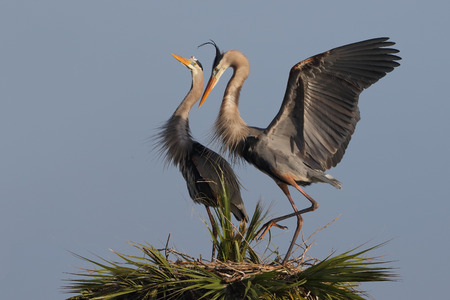 Pair of Great Blue Herons Ardea herodias Displaying Courtship Behaviour at Their Nest - Melbourne, Florida