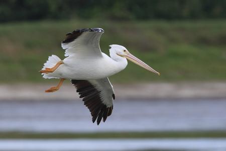 pelecanus: White Pelican Pelecanus erythrorhynchos in flight over a pond - Melbourne, Florida Stock Photo