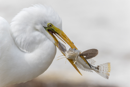 pinellas: Closeup of Great Egret Ardea alba Catching a Sea Robin Fish - Fort DeSoto, Florida