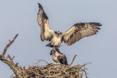 copulate: Male Osprey (Pandion haleaetus) flies in to join his mate at their nest - Florida