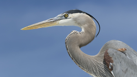 Closeup of a Great Blue Heron (Ardea herodias) against a blue sky - Florida
