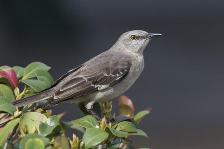 Northern Mockingbird (Mimus polyglottos) Perched in a Shrub - St. Petersburg, Florida