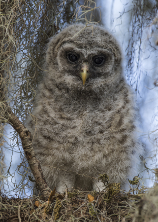 barred: Baby Barred Owl (Strix varia) framed by Spanish Moss as it perches on a tree branch - Florida
