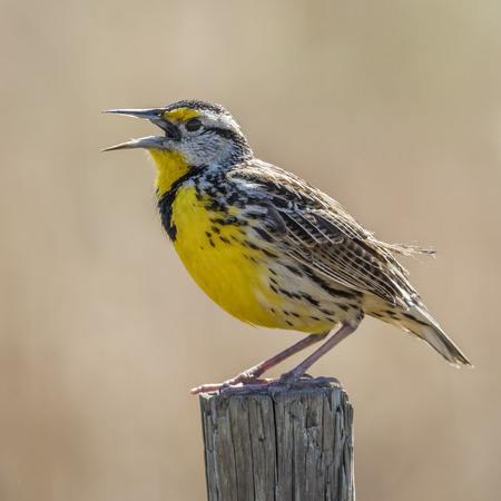 fence post: Eastern Meadowlark (Sturnella magna) Singing From a Wooden Fence Post - Florida Stock Photo