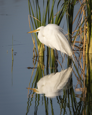 wetland: Great Egret (Ardea alba) Reflected in a Wetland in Early Morning - Viera Florida Stock Photo