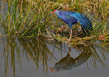 The non-native Purple Swamphen (Porphyrio porphyria) has been gaining a foothold in Florida since first escaping from an aviary around 1996. 免版税图像