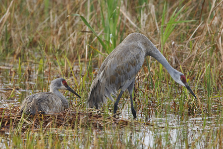 sandhill crane: A female Sandhill Crane (Grus canadensis) sits on a nest while her mate stands guard - Florida