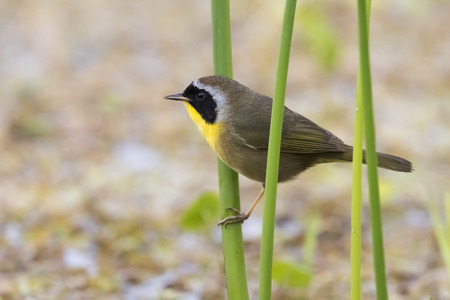us territory: Male Common Yellowhtroat (Geothlypis trichas) in a Florida Marsh During Spring Migration Stock Photo
