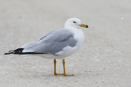florida beach: Adult Ring-billed Gull (Larus delawarensis) standing on a Florida beach Stock Photo