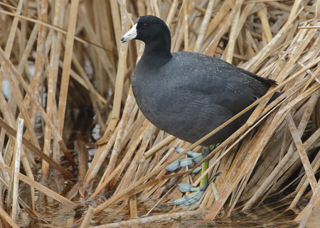 cattails: American Coot (Fulica americana) Standing on Dead Cattails in a Florida Wetland
