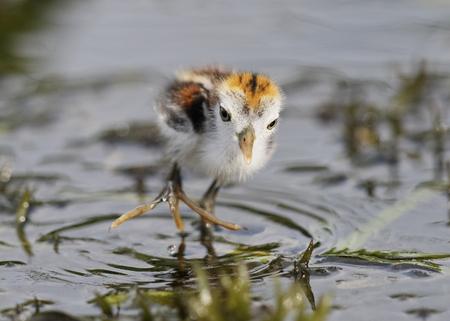 jacana: A baby Wattled Jacana (Jacana jacana) displays its long toes as it wades in a shallow marsh - Panama Stock Photo