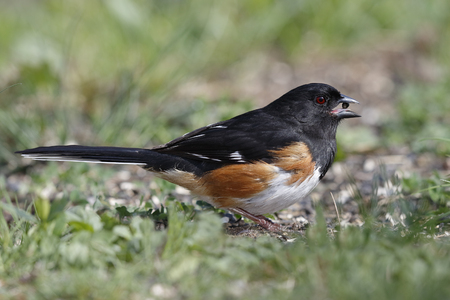 Male Eastern Towhee (Pipilo erythrophthalmus) with a seed in its beak - Ontario, Canada Stock Photo