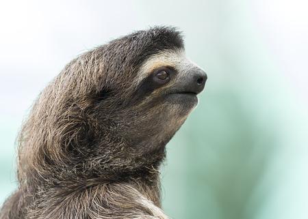 sloth: Primer plano de un perezoso de tres dedos Brown-throated (Bradypus variegatus) - Panamá