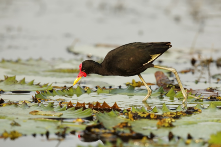 long toes: A Wattled Jacana (Jacana jacana hypomelaena) uses its long toes to walk on a water lily as it forages for insects - Panama