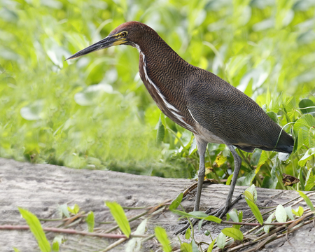 lineatum: Adult Rufescent Tiger Heron (Tigrisoma lineatum) Stock Photo