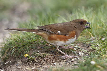 Female Eastern Towhee (Pipilo erythrophthalmus) Cracking Open a Sunflower Seed - Ontario, Canada