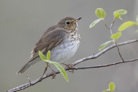 Swainson's Thrush (Catharus ustulatus) perched in a shrub during spring migration - Ontario, Canada