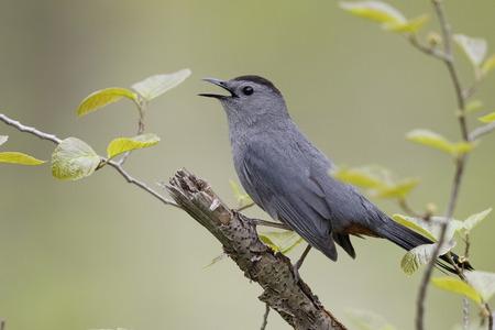 gray catbird: Gray Catbird (Dumetella carolinensis) Calling in Spring - Ontario, Canada