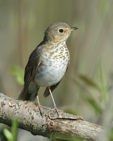 thrush: Swainsons Thrush (Catharus ustulatus) Perched in a Tree in Spring - Ontario, Canada Stock Photo