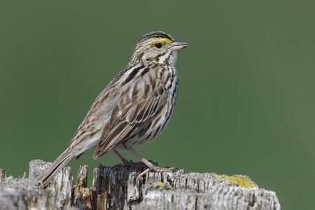 fence post: Savannah Sparrow (Passerculus sandwichensis) perched on a fence post - Ontario, Canada