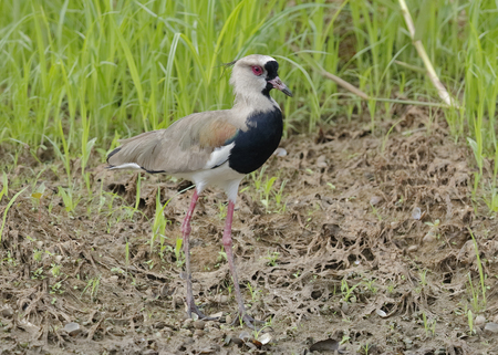 lapwing: Southern Lapwing (Vanellus chilensis) Foraging on a River Bank - Panama
